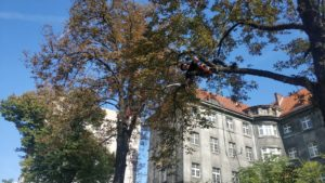 Pielęgnacja drzew przy ul. Traugutta we Wrocławiu