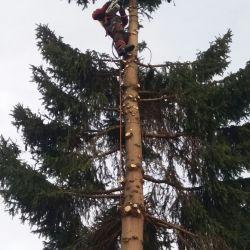 Firma Nie Ma Lipy usuwa świerk we Wrocławiu