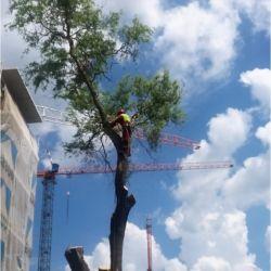 Nie Ma Lipy - wycinka drzew na budowie