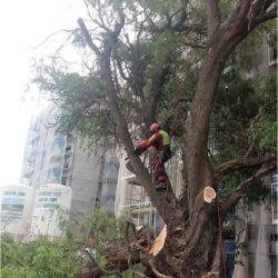 Nie Ma Lipy wycinka drzewo na budowie przy ul. Małopanewskiej
