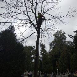 Nie Ma Lipy usuwa drzewo na wrocławskim cmentarzu