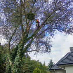 Nie Ma Lipy wycina pochylone drzewo w Wilkszynie
