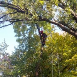 Nie Ma Lipy - wycinka sekcyjna drzew na cmentarzu przy ul. Bujwida
