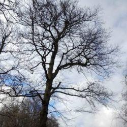 Pielęgnacja starych wiązów w Wilczycach