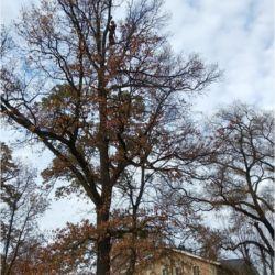 Ściąganie posuszu z drzewa rosnącego na Psim Polu