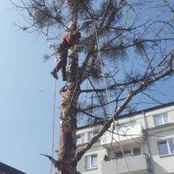 Firma Nie Ma Lipy wycina topolę na wrocławskich Krzykach