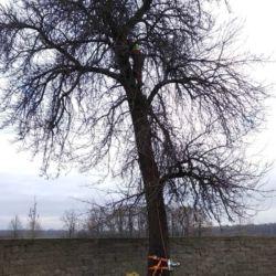 Nie Ma Lipy usuwa starą gruszę na wrocławskich Swojczycach