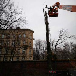 Wycinka topoli - Wrocław Stare Miasto