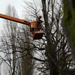 Wycinka wyschniętej topoli na wrocławskim Starym Mieście
