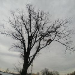 Nie Ma Lipy pielęgnuje drzewo dla Polskiej Spółki Gazownictwa