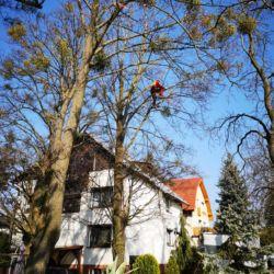 usuwanie jemioły z jesionów we Wrocławiu