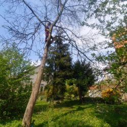 Nie Ma Lipy - wycinka orzecha włoskiego na Krzykach