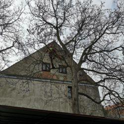 Pielęgnacja orzecha włoskiego na Sępolnie