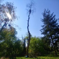 Wycinka orzecha włoskiego - Nie Ma Lipy