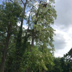 Nie Ma Lipy - pielęgnacja drzew na cmentarzu