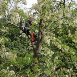 Nie Ma Lipy pielęgnuje drzewa na Cmentarzu Świętej Wawrzyńca