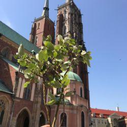 Usunięte drzewko z Katedry we Wrocławiu