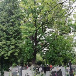 Nie Ma Lipy pielęgnuje dęby na cmentarzu
