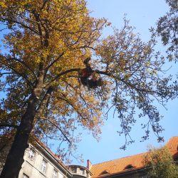 Nie Ma Lipy pielęgnuje drzewa na ul. Traugutta