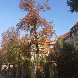 Przycinka drzew na starym szpitalu przy ul. Traugutta