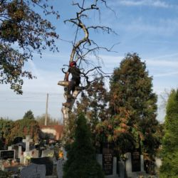 Wycięcie suchej brzozy - Cmentarz Św. Wawrzyńca