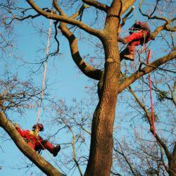 Pielęgnacja drzew na Cmentarzu Św. Wawrzyńca we Wrocławiu