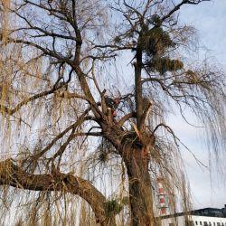 Nie Ma Lipy wycina wierzbę rosnącą na Kępie Mieszczańskiej we Wrocławiu