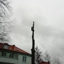 Nie Ma Lipy wycina drzewa przy przedszkolu w Chojnowie