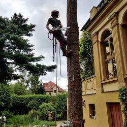 usuwanie świerku na wrocławskim Biskupinie