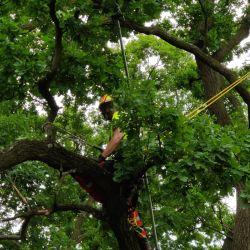 pielęgnacja starych drzew na Wrocławskim Biskupinie