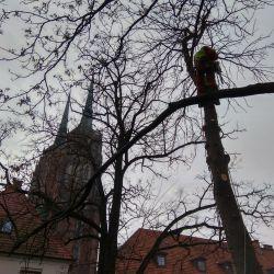 Nie Ma Lipy usuwa drzewa Ostrów Tumski