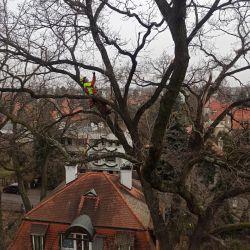 pielęgnowanie starych drzewna wrocławskim biskupinie