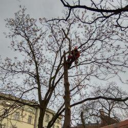 wycinka drzew na Ostrowie Tumskim