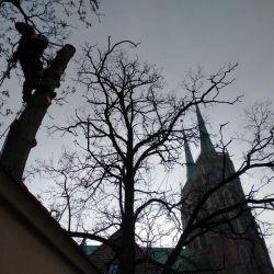 wycinka dwóch drzew na Ostrowie Tumskim